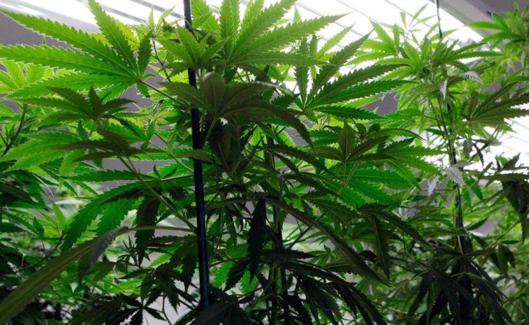 Medical marijuana business applications