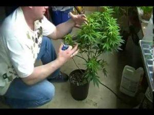 Online marijuana lessons
