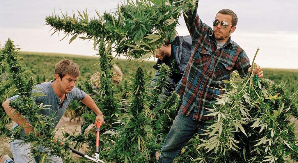 California academy for marijuana