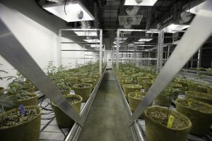 Cannabis cultivation permits
